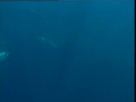 vídeos de stock e filmes b-roll de dolphins swim past camera, panama - golfinho pintado pantropical