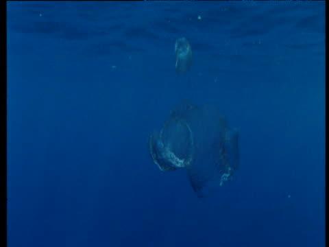 vídeos de stock e filmes b-roll de dolphins swim past drifting fishing nets, costa rica - rede de pesca comercial
