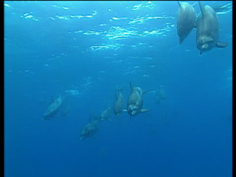 stockvideo's en b-roll-footage met dolphins swim towards camera in bright blue sea - cetacea