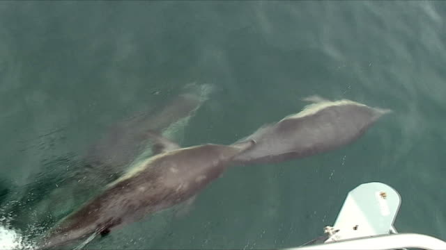 ms ha ts dolphins swimming and jumping around sailboat / santa barbara, channel islands, united states - 隣り合う点の映像素材/bロール