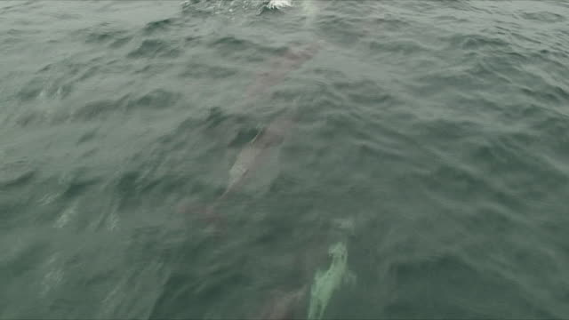 ms ha ts dolphins swimming and jumping in front of sailboat / santa barbara, channel islands, united states - 隣り合う点の映像素材/bロール