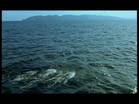 ha, dolphins swimming and leaping in ocean, baja california, mexico - kleine gruppe von tieren stock-videos und b-roll-filmmaterial