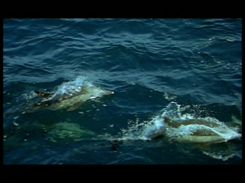 ha, dolphins swimming and leaping in ocean, baja california, mexico - small group of animals stock videos & royalty-free footage