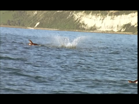 vídeos de stock, filmes e b-roll de slo mo, ms, dolphins swimming and leaping in ocean, pacific ocean, new zealand - tremido
