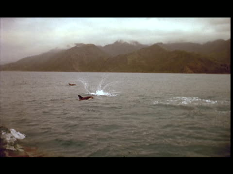 slo mo, ws, dolphins swimming and leaping in ocean, pacific ocean, new zealand - getönt stock-videos und b-roll-filmmaterial