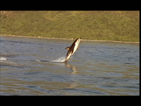 slo mo, ms, pan, dolphins swimming and leaping in ocean, pacific ocean, new zealand - cetaceo video stock e b–roll