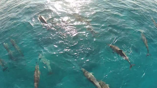 dolphins swimming ariel drone - cetacea video stock e b–roll