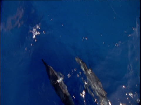stockvideo's en b-roll-footage met dolphins swimming close to surface of crystal clear blue ocean near great barrier reef - common dolphin