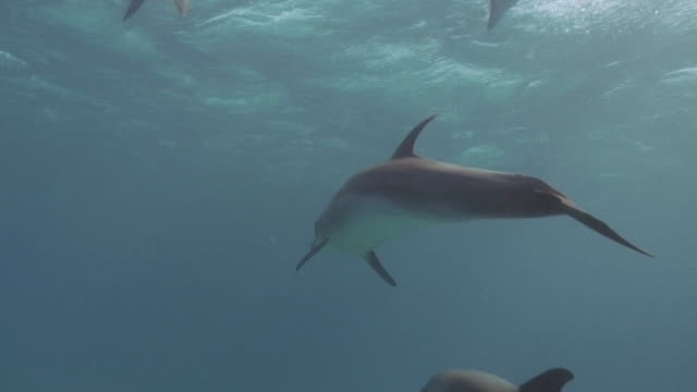Dolphins swimming in front of the camera [HD]