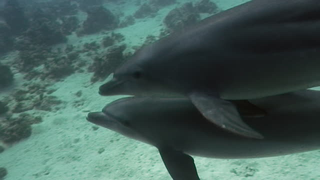 dolphins swimming in front of the camera [hd] - 2009 stock videos and b-roll footage
