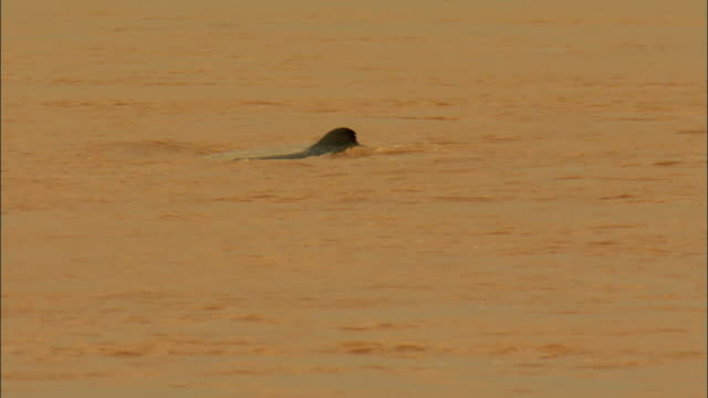 vidéos et rushes de ms dolphins swimming in mekong river, cambodia - mammifère