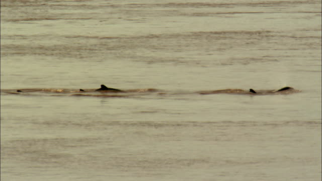 ws pan zi dolphins swimming in mekong river, cambodia - cetaceo video stock e b–roll