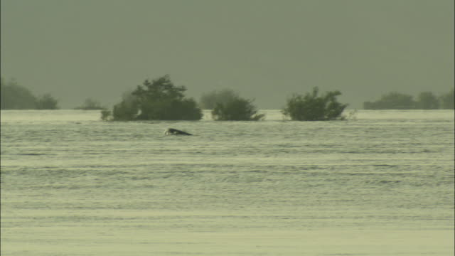 WS TS Dolphins swimming in Mekong River, Cambodia