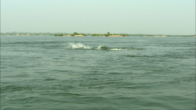 WS ZI Dolphins swimming in Mekong River, Cambodia