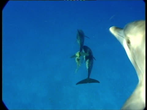 ms, dolphins swimming in ocean, atlantic ocean, bahamas - spotted dolphin stock videos and b-roll footage