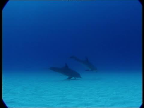 vidéos et rushes de ms, dolphins swimming in ocean, atlantic ocean, bahamas - quatre animaux
