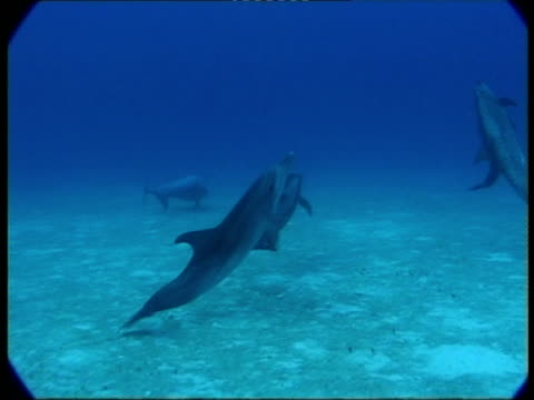ms, dolphins swimming in ocean, atlantic ocean, bahamas - kleine gruppe von tieren stock-videos und b-roll-filmmaterial