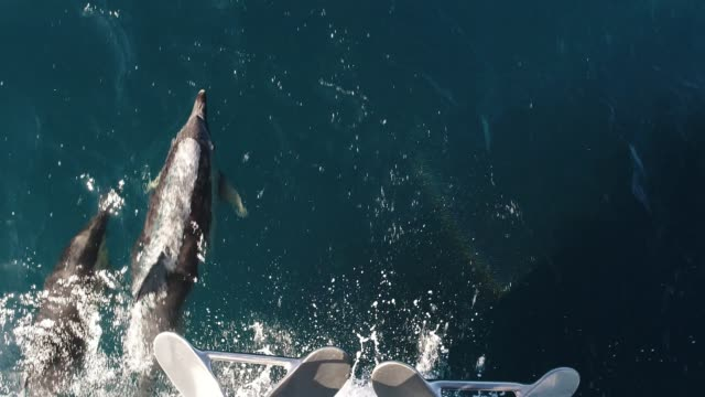 dolphins swimming in ocean - dolphin stock videos & royalty-free footage