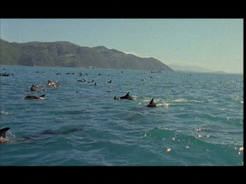 slo mo, ms, dolphins swimming near surface of water, pacific ocean, new zealand - cetaceo video stock e b–roll