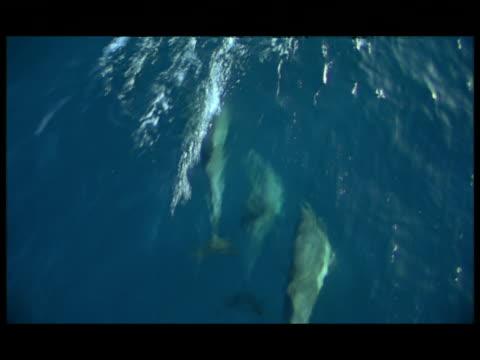vídeos y material grabado en eventos de stock de ha, dolphins swimming under water surface, baja california, mexico - cetáceo