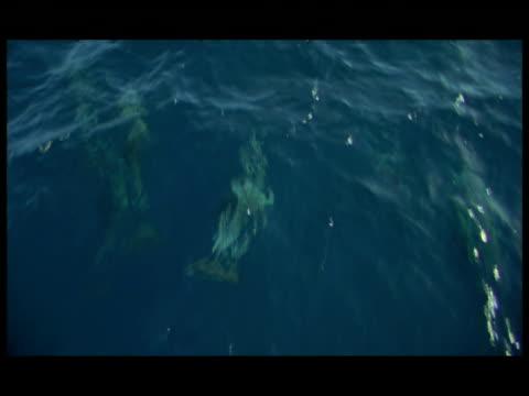 ha, dolphins swimming under water surface, baja california, mexico - kleine gruppe von tieren stock-videos und b-roll-filmmaterial