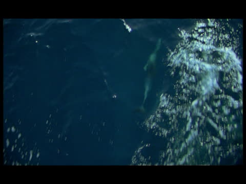 ha, dolphins swimming under water surface, baja california, mexico - cetaceo video stock e b–roll