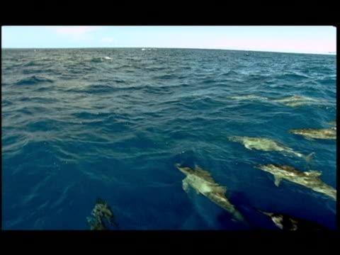 vídeos y material grabado en eventos de stock de ha, dolphins swimming under water surface, pacific ocean, hawaii, usa - cetáceo