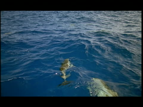 ha, dolphins swimming under water surface, pacific ocean, hawaii, usa - cetacea stock videos & royalty-free footage