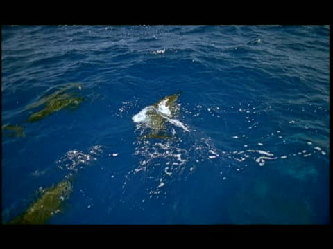 ha, dolphins swimming under water surface, pacific ocean, hawaii, usa - letterbox format stock videos & royalty-free footage
