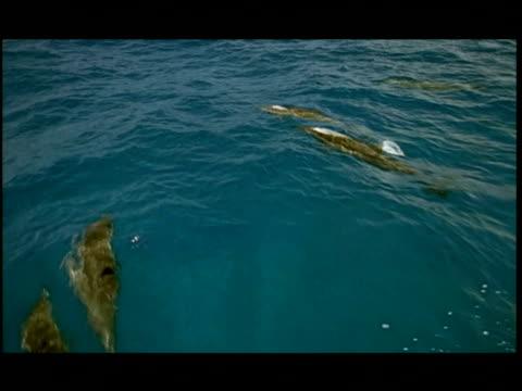 ha, dolphins swimming under water surface, pacific ocean, hawaii, usa - kleine gruppe von tieren stock-videos und b-roll-filmmaterial