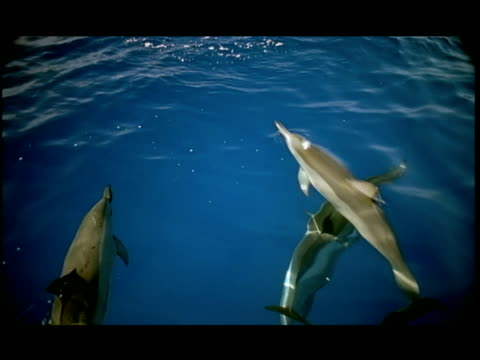 vídeos de stock e filmes b-roll de slo mo, ha, dolphins swimming under water surface, pacific ocean, hawaii, usa - formato letterbox
