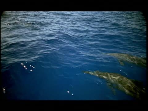 slo mo, ha, dolphins swimming under water surface, pacific ocean, hawaii, usa - letterbox format stock videos & royalty-free footage