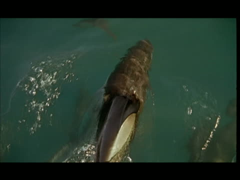vídeos de stock e filmes b-roll de slo mo, cu, dolphins swimming under water surface, pacific ocean, new zealand - barbatana dorsal