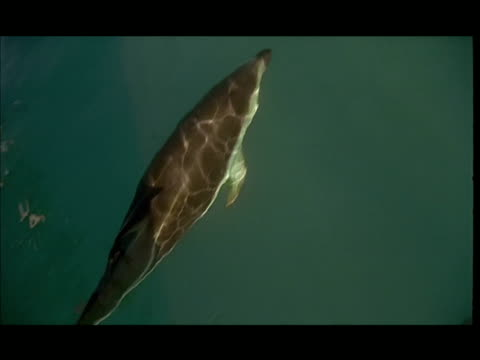 vídeos de stock e filmes b-roll de slo mo, ha, dolphins swimming under water surface, pacific ocean, new zealand - barbatana dorsal
