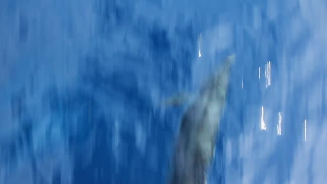 Delphin schwimmen.