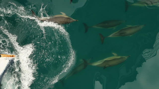 dolphins travel with the ship - passenger craft stock videos & royalty-free footage