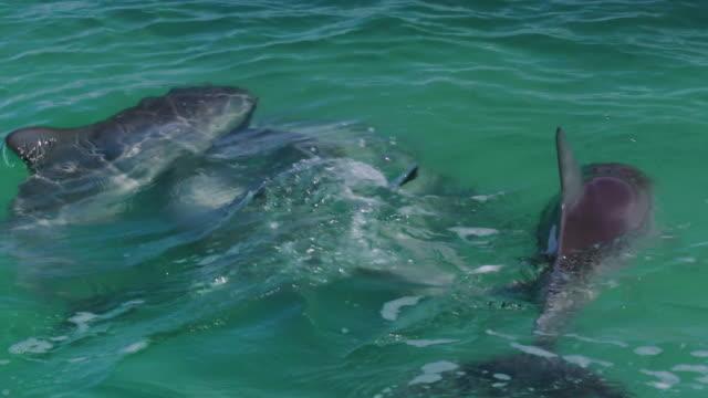 dolphins underwater - cetacea stock videos & royalty-free footage