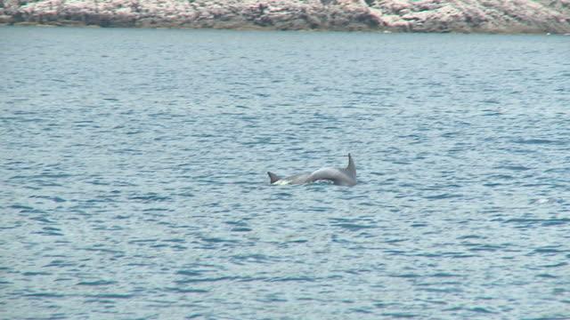 vídeos de stock e filmes b-roll de hd câmara lenta: golfinhos - cetáceo