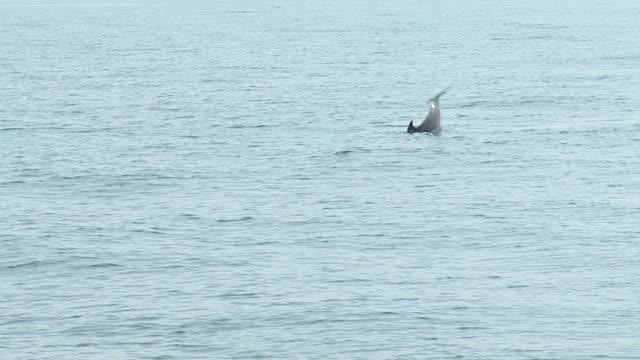 HD RALENTI: Des dauphins