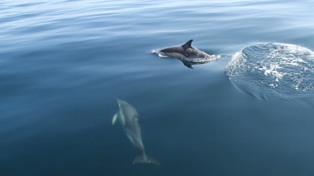 dolphins - common dolphin stock videos & royalty-free footage