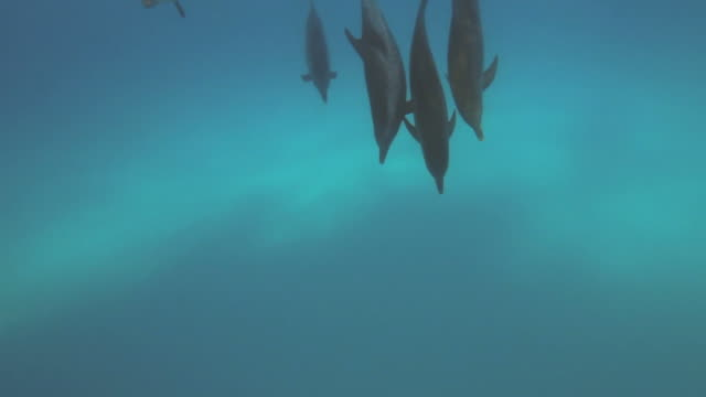 dolphins - atlantic spotted dolphin stock videos & royalty-free footage