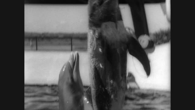 vídeos de stock, filmes e b-roll de dolphins with unusual markings pop their heads out of the water at marineland in florida / their strange markings are caused by teeth wounds from... - cetáceo