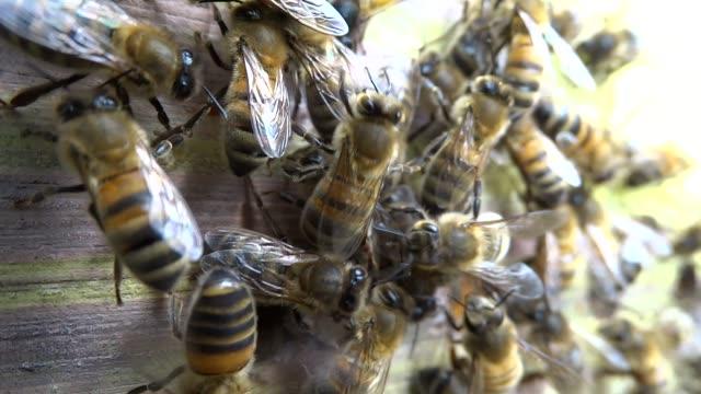 vidéos et rushes de abeilles domestiques - ruche