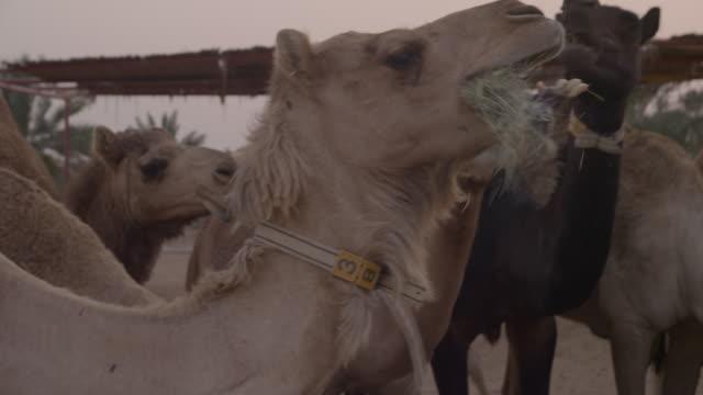 Domestic camels (Camelus dromedarius) feeding, UAE