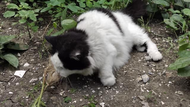 vídeos de stock, filmes e b-roll de gato doméstico comendo acalypha indiano ou capim gato - domestic animals