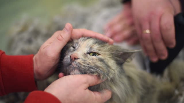 domestic cat grooming - razor stock videos & royalty-free footage