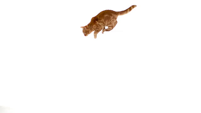 MS SLO MO Domestic cat leaping against white background / Vieux Pont, Normandy, France