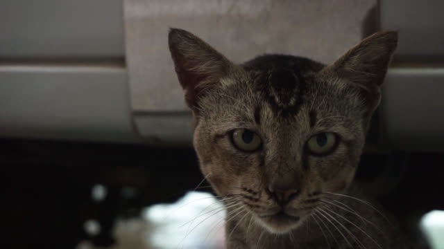 Domestic cat looking at camera head shot