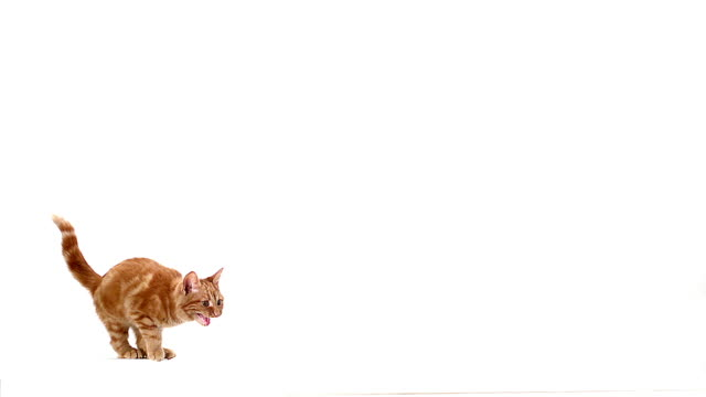 MS SLO MO Domestic cat meowing and leaping against white background / Vieux Pont, Normandy, France