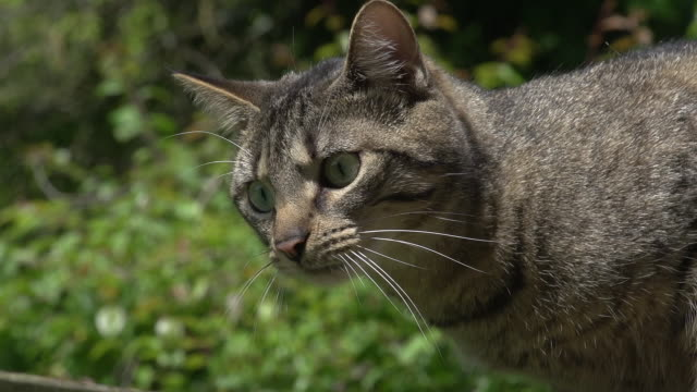 """domestic cat snarling, normandy, real time"" - 歯をむく点の映像素材/bロール"